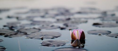 lotus flower emerging from water