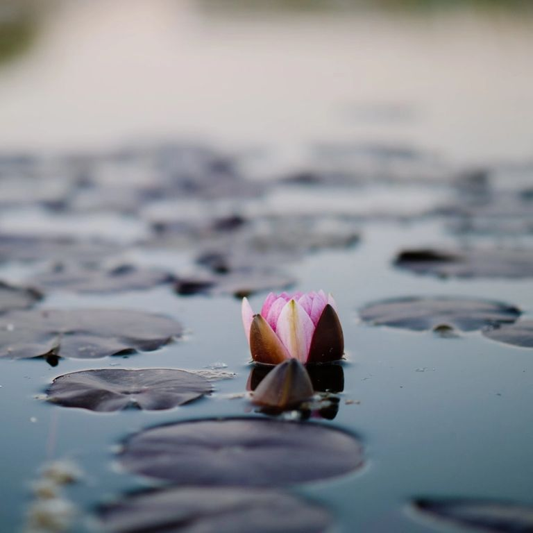 lotus flower emerging from water