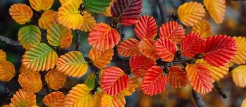 close up of deciduous myrtle beech turning from green to yellow to red