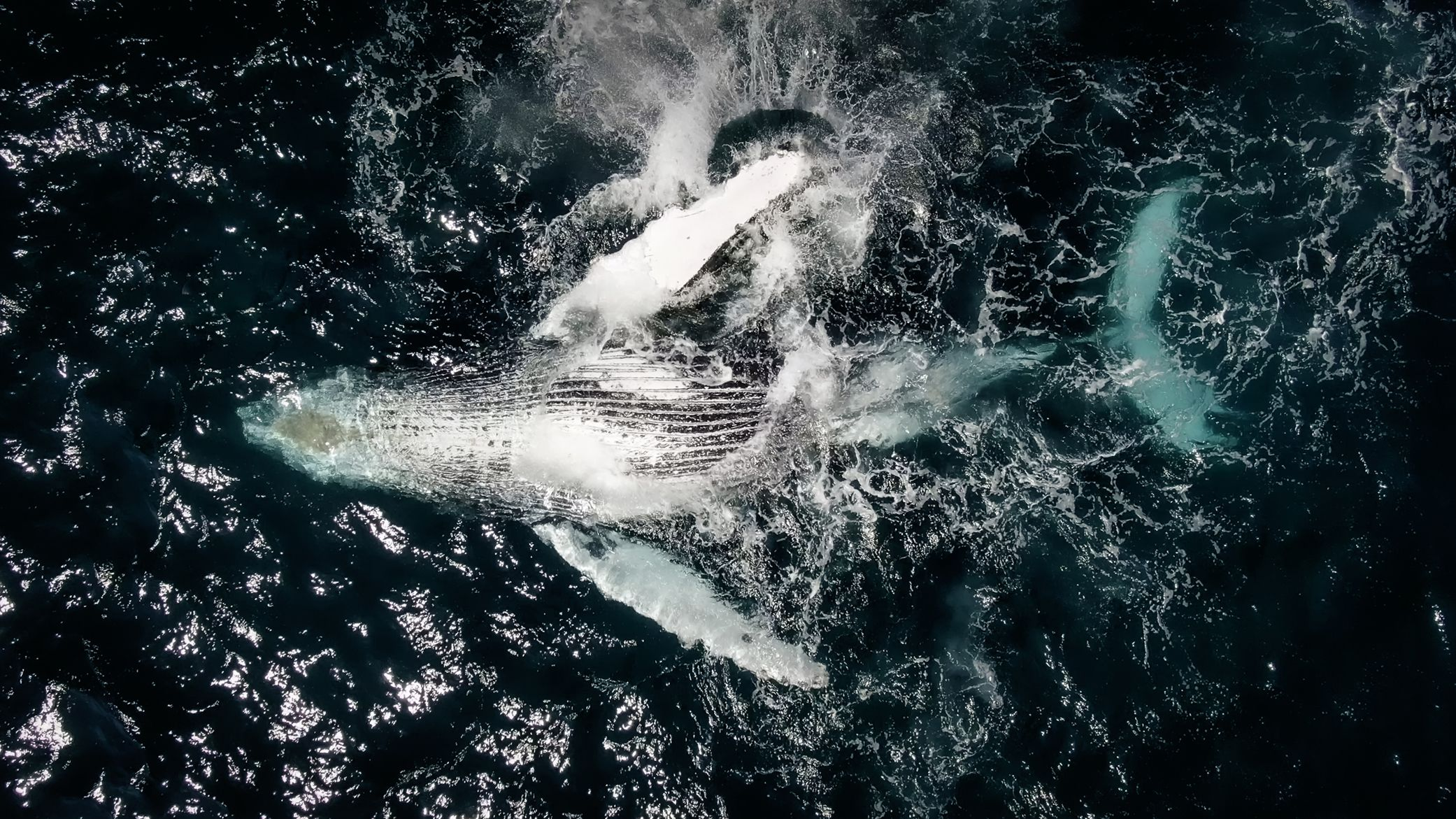 A photo of a whale breaching, belly first