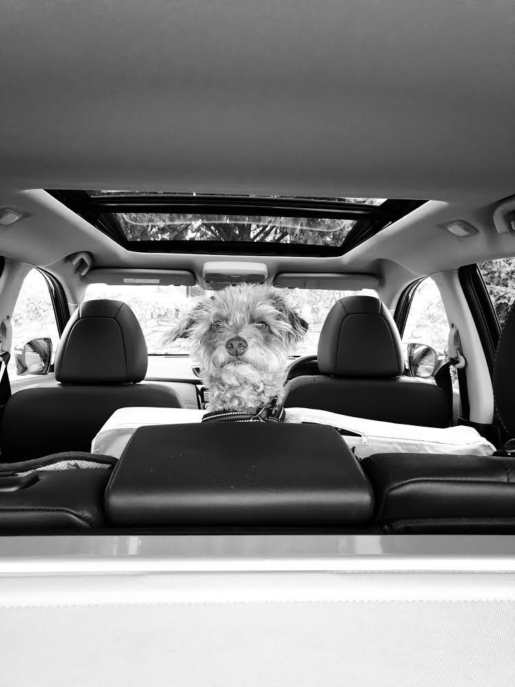 Hazel Potter's dog Tilly in the back of a car