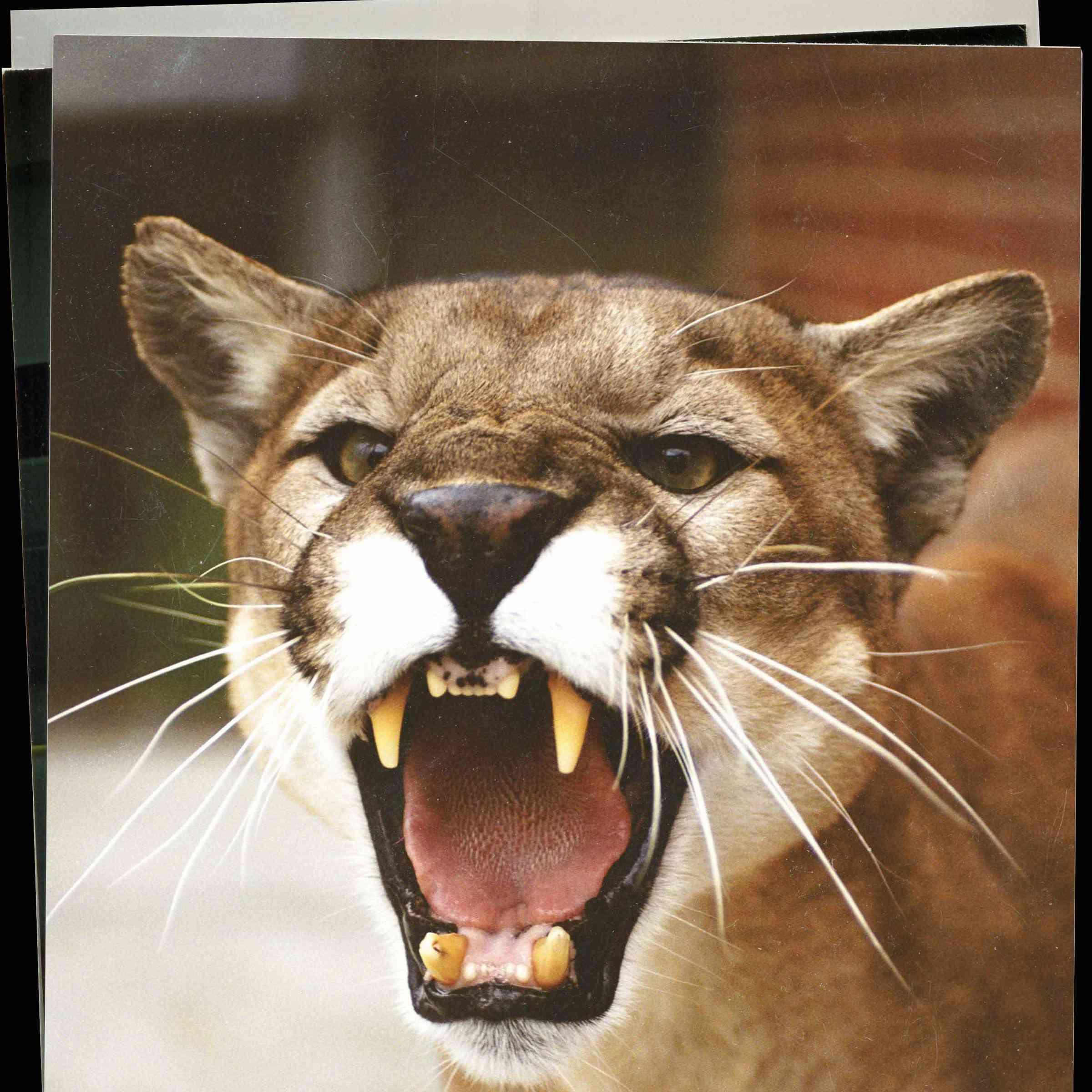 Photograph of a Puma.