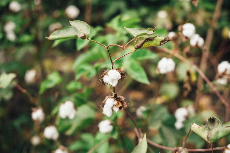 A picture of extra-long staple Egyptian cotton, at a Kotn farm.