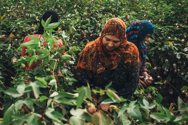 A woman at a Kotn farm, gathering Egyptian cotton by hand.