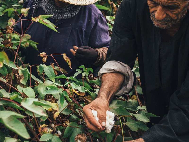 A husband and wife picking cotton