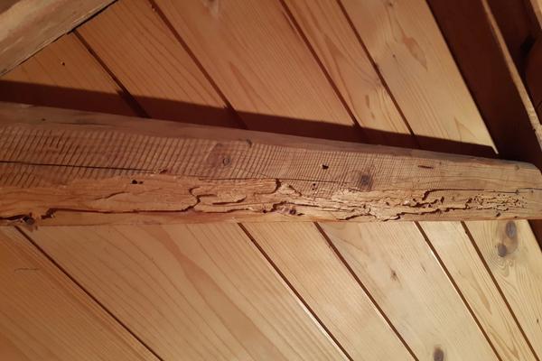 Von Hausbock befallener Holzbalken