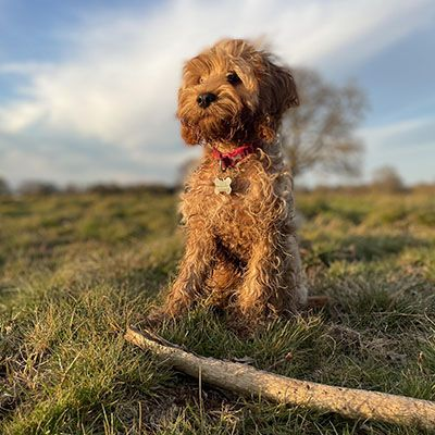 Sweet, fluffy Cavapoo looking for into the distance at sunset