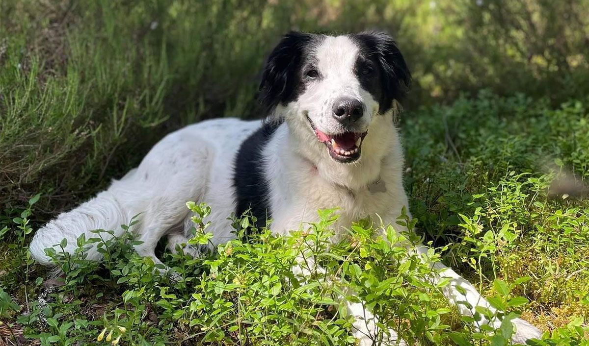 Happy Border Collie sitting in greenery, smiling and looking at camera