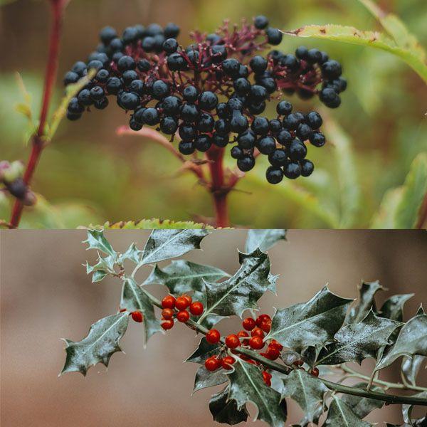 Elderberry and Holly berries