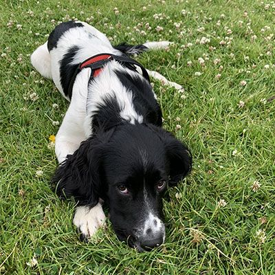 Black and white Sprocker laying head down in the grass