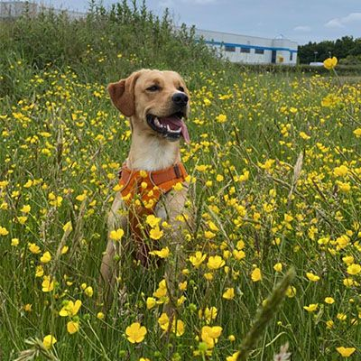 Happy Labrador with their tongue out standing in a field of flowers looking off into the distance