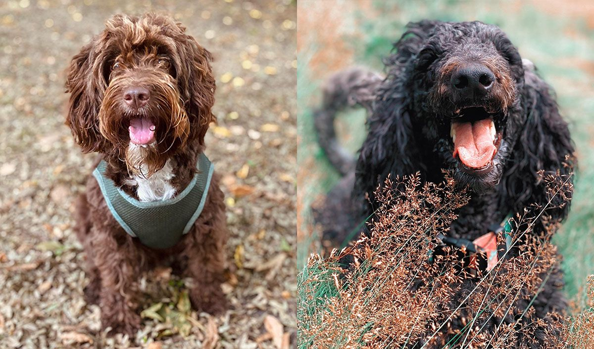 Autumn plants that are toxic to dogs, two fluffy poodle cross breeds sitting in orange flora