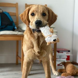 Golden Retriever holding a dog toy in it's mouth looking at camera