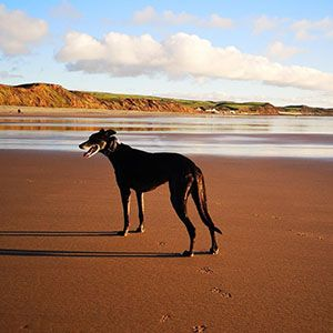 Greyhound standing majestically on a bright and sandy beach