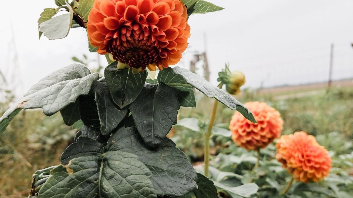 flower farm dahlias