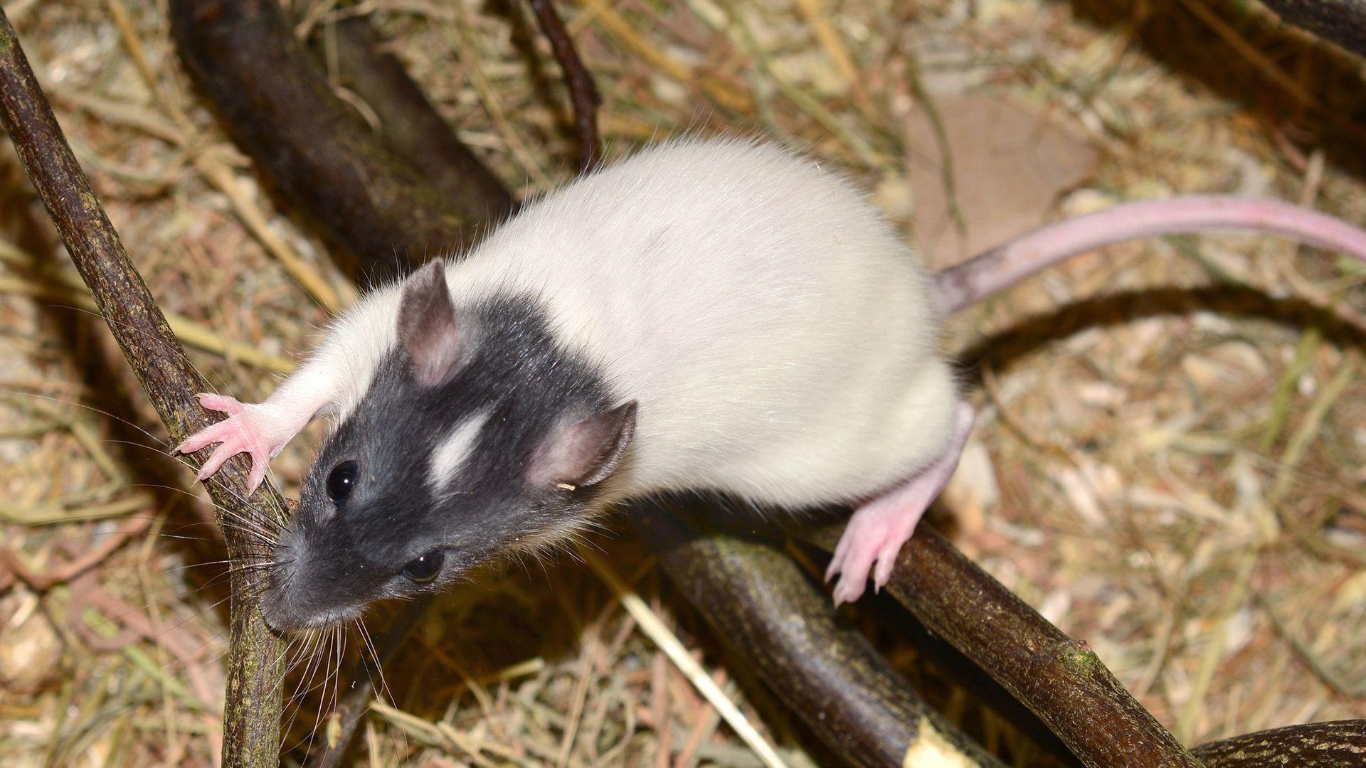 Ratten erkennen