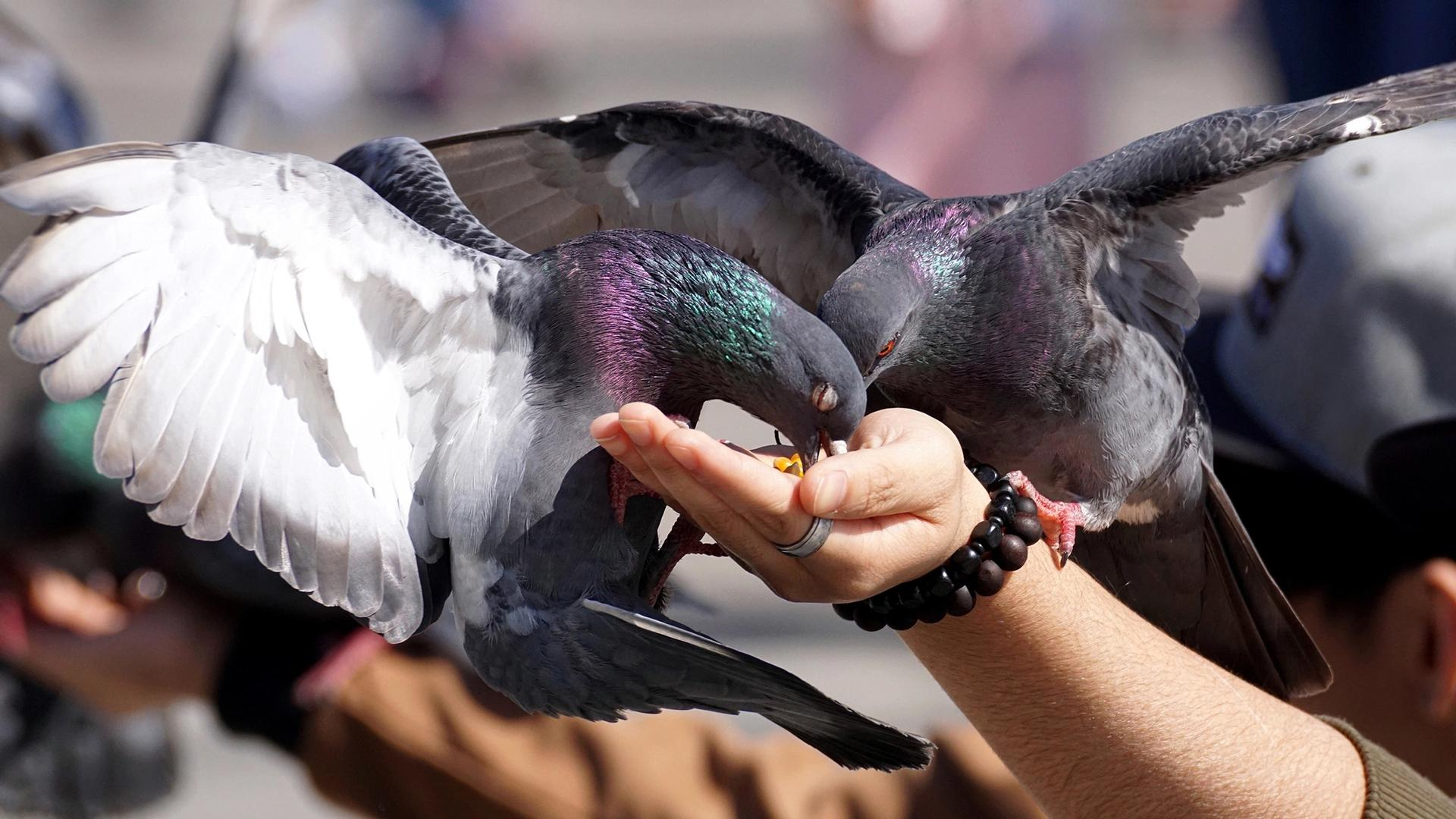 Wenn Taubenfüttern ein Kündigungsgrund ist
