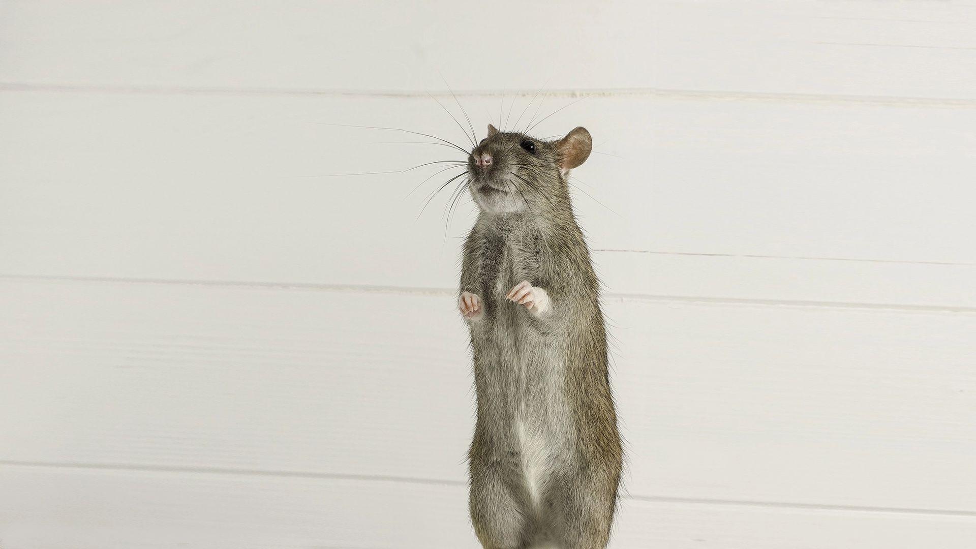 Mensch mit Ratten-Hepatitis infiziert