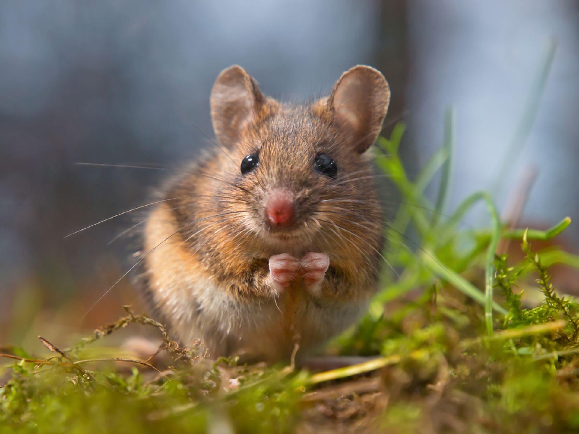 se débarrasser des souris domestiques