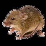 reconnaitre le souris domestique
