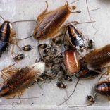 Kakerlakker er et af de insekter du kan møde i Danmark - Anticimex