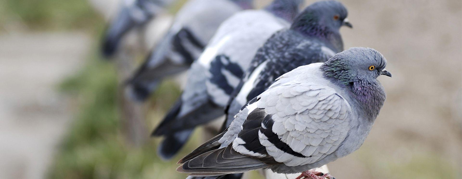 Bekæmpelse af duer - det klarer Anticimex