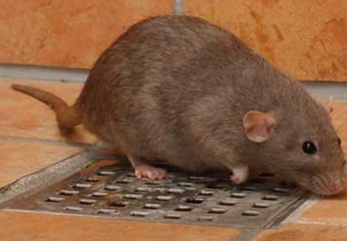 Rotter er skadedyr og skal bekæmpes. Det klarer Anticimex