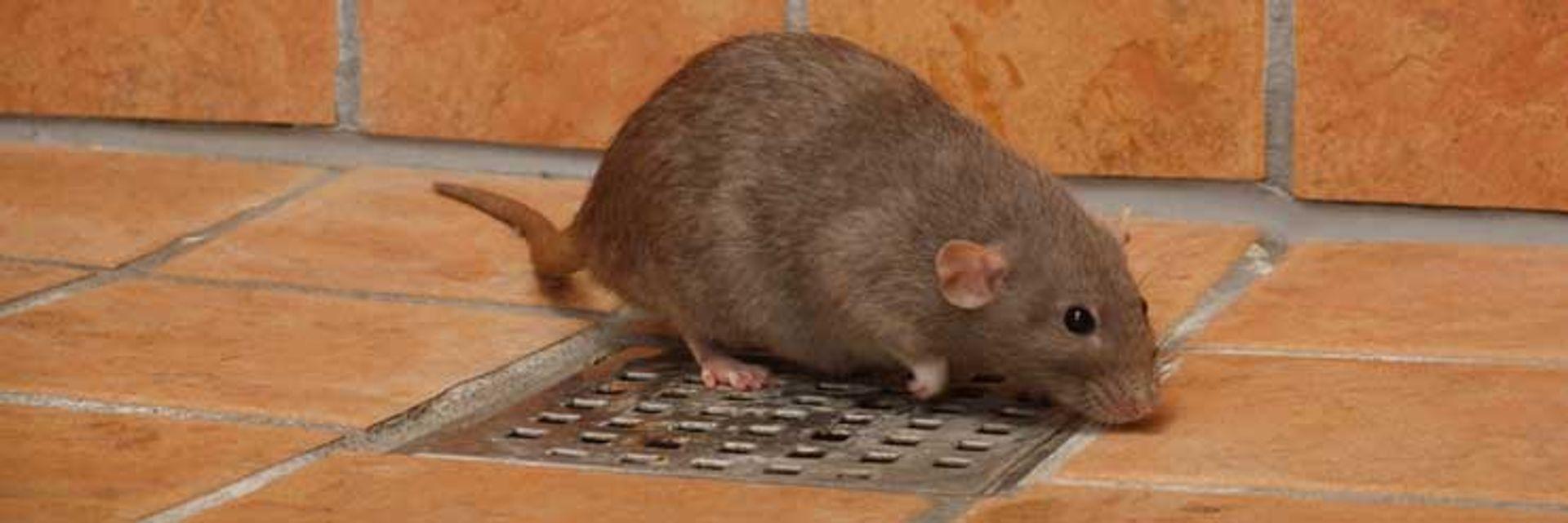 Anticimex kan hjælpe dig, hvis du IKKE vil have rotter - tlf 69151744