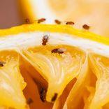 Bekæmpelse af bananfluer -det klarer Anticimex