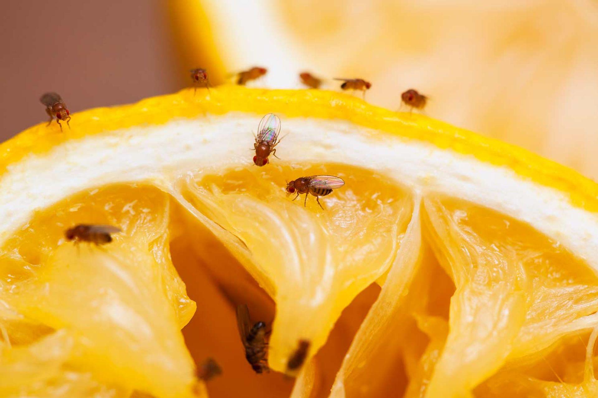 Bekæmpelse af bananfluer - det klarer Anticimex