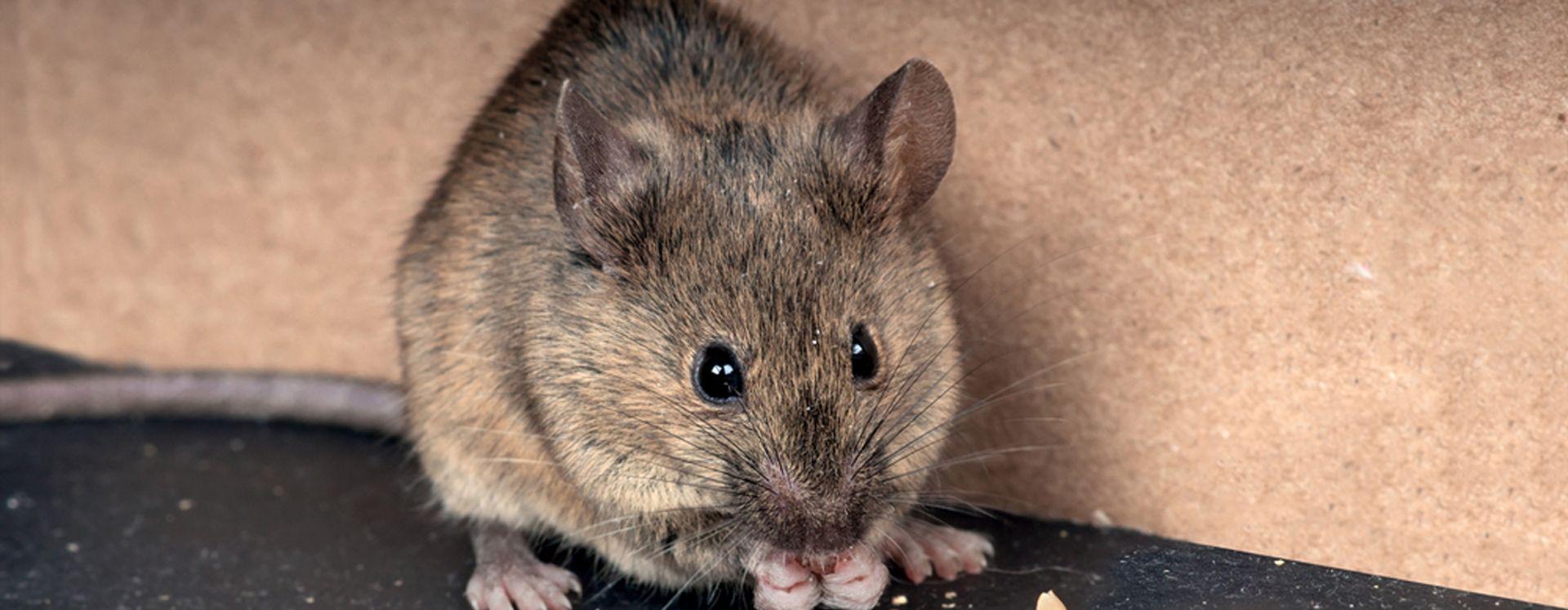 Hvordan undgår man mus? Få svaret her - Anticimex