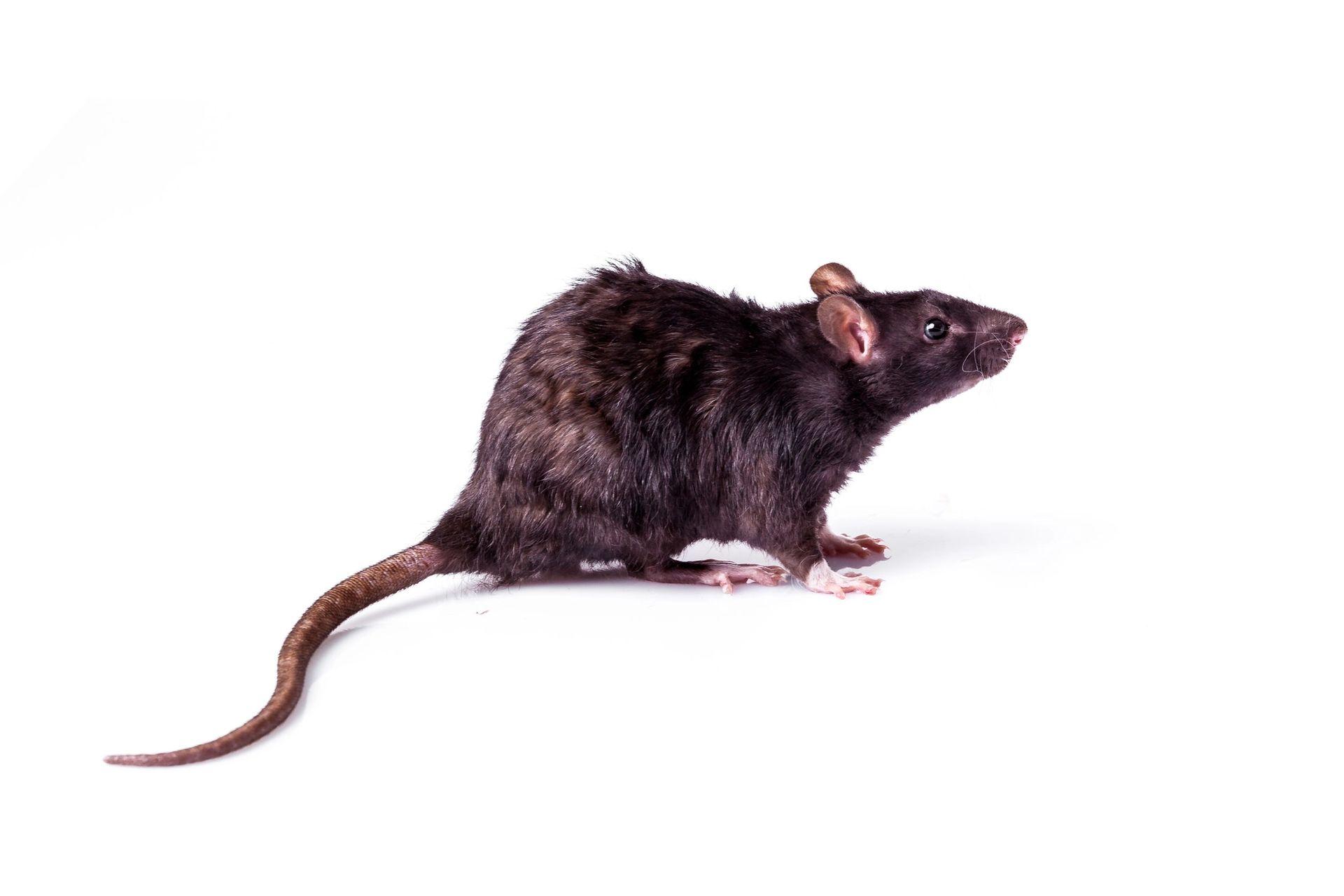 Rottebekæmpelse - det klarer Anticimex