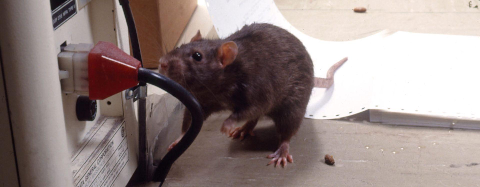 Nedlukning pga rotter er en dyr omgang - Lad os hjælpe dig med forebyggelse Anticimex 69151744