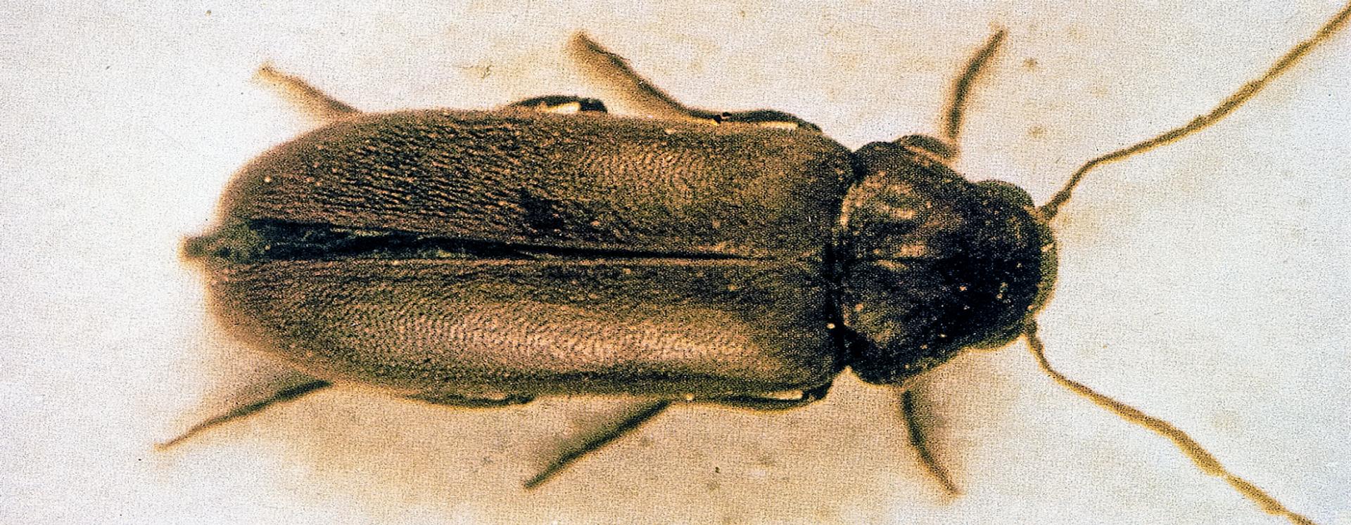 Blød borebille - Anticimex skadedyrsbekæmpelse