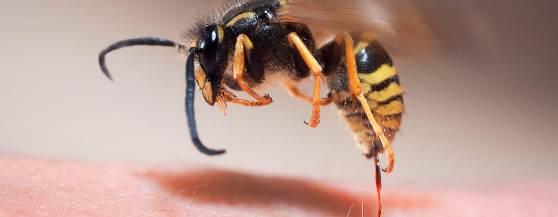 Bekæmpelse af hvepse og hvepsebo i Skive – det klarer Anticimex.