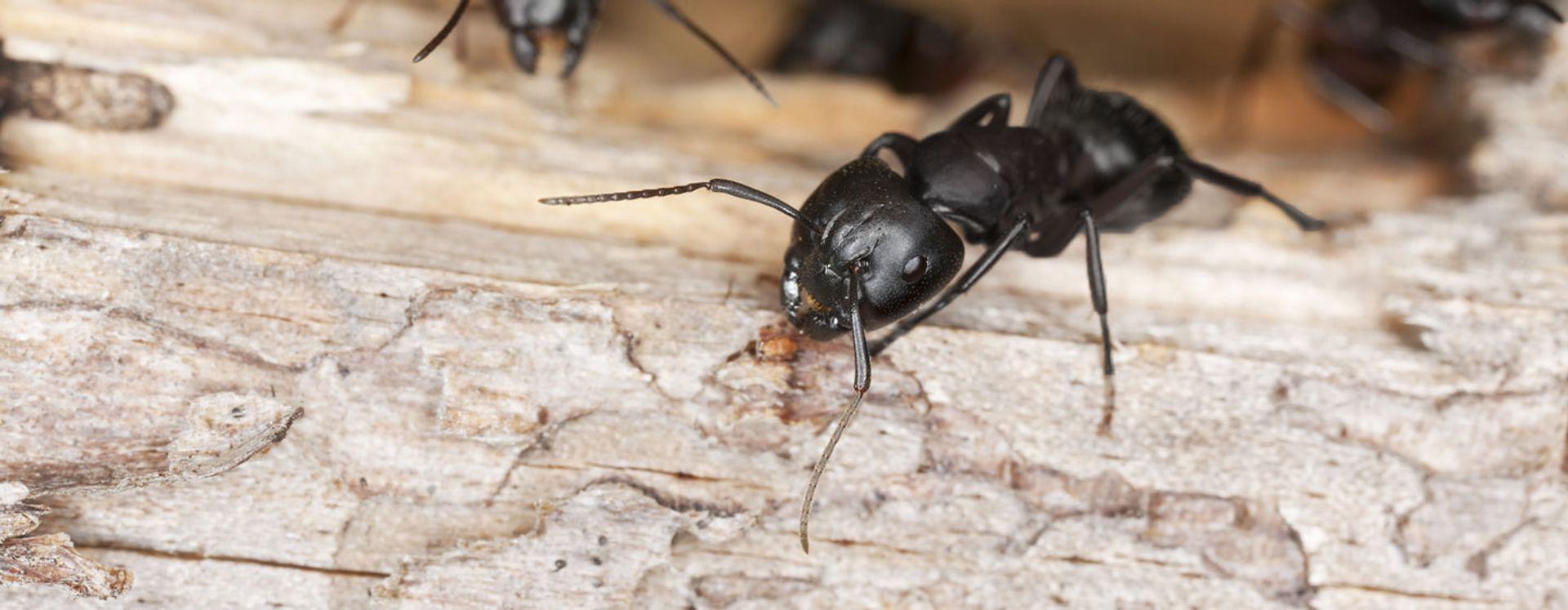 Hvad sker der med myrer om vinteren? Få svaret her - Anticimex