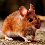 Mus er et af de skadedyr, som Anticimex bekæmper