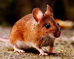 Bekæmpelse af mus - det klarer Anticimex