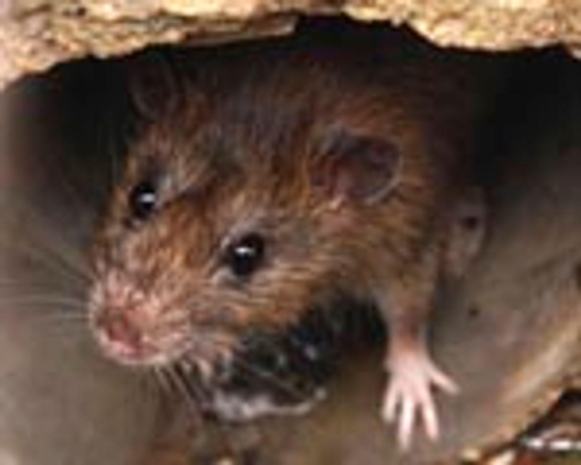 Sådan undgår du rotter og mus - Anticimex