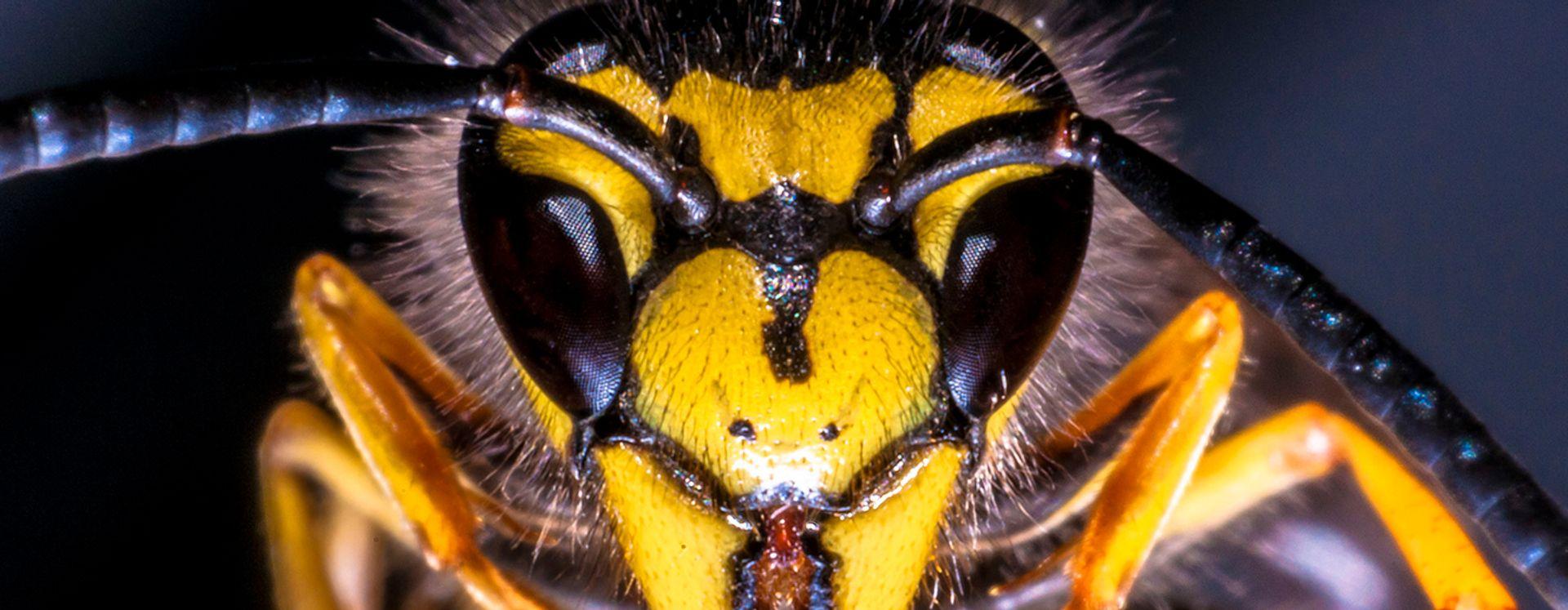 Bekæmpelse af hvepse og hvepsebo i Aalborg – det klarer Anticimex.