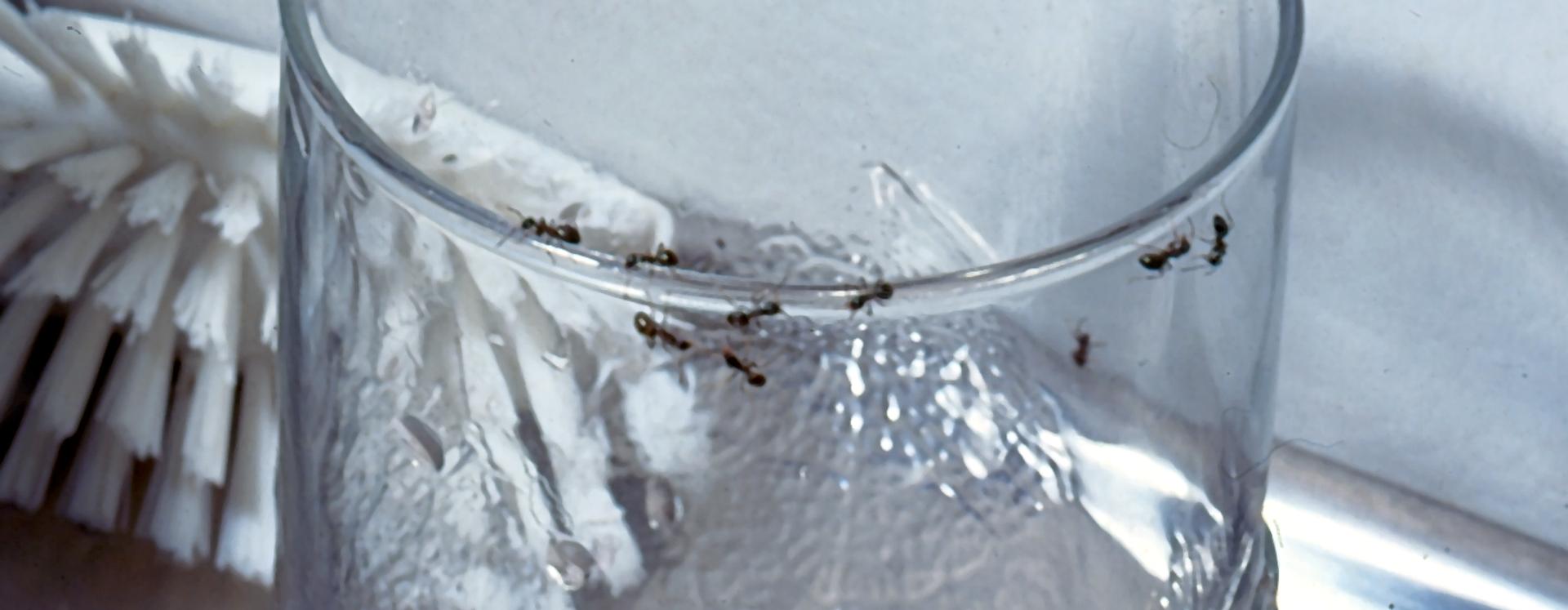 Myrebekæmpelse - det klarer Anticimex