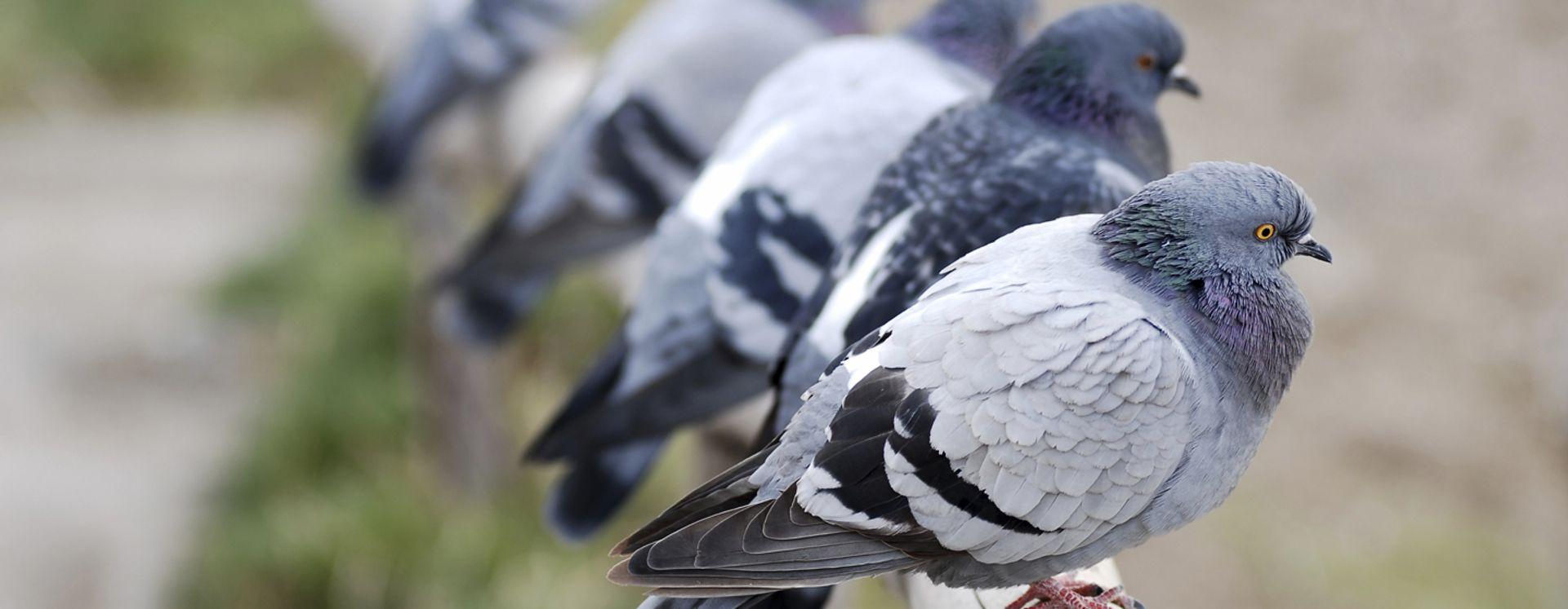 Hvor ofte lægger duer æg? Anticimex giver dig svaret