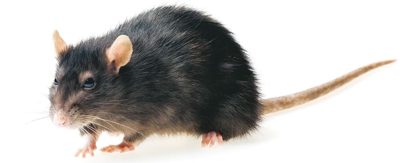 Rottakanta on kasvanut