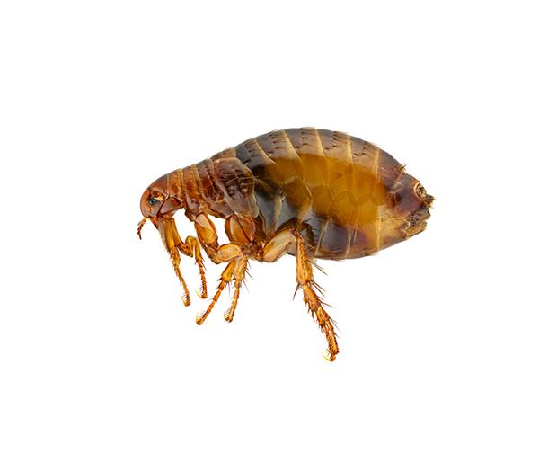 Kirput Siphonaptera
