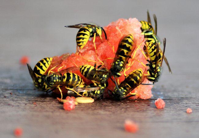 Pelkoa herättävä, mutta hyödyllinen ampiainen