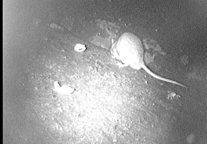 Smart Cam -videokuvaa rotista.