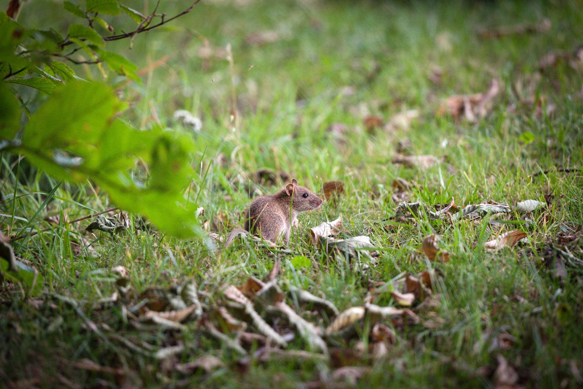Rottien ja hiirien torjunta