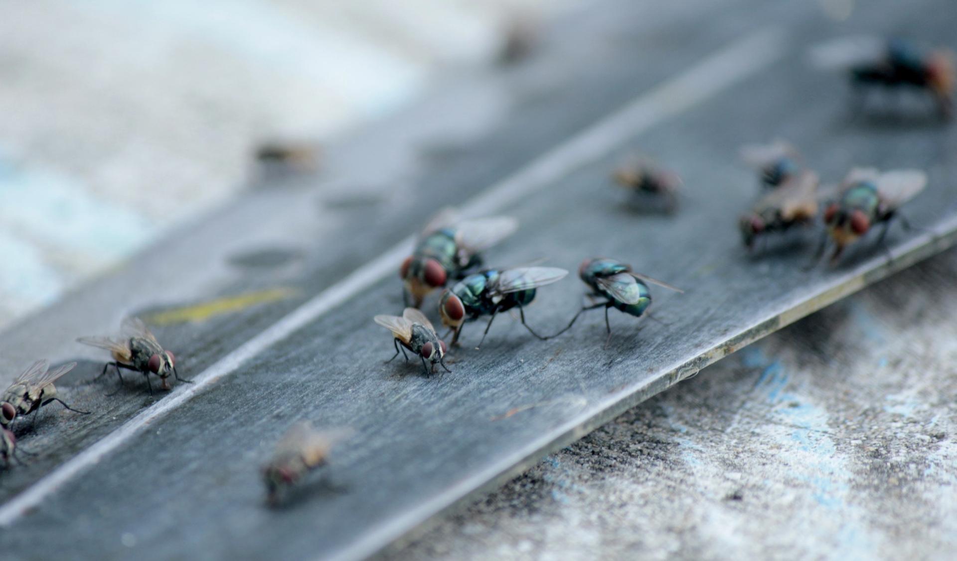 Asuntovieraat - Kodin hyönteiset