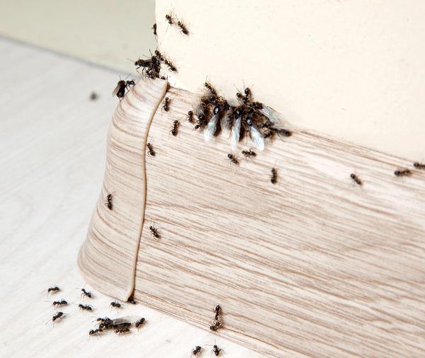 Muurahaisten torjunta