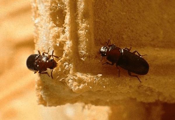 Rohmukuoriainen